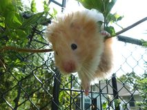 Cream-colored pet hamster climbing a bush branch Royalty Free Stock Photography