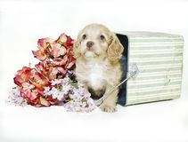 Cream Colored Puppy Sitting in Bucket Royalty Free Stock Images