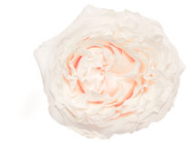 Cream-colored rose isolated on white background Stock Photography