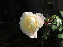 Cream colored rose Royalty Free Stock Image