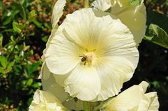 Cream coloured Hollyhocks. Stock Photo
