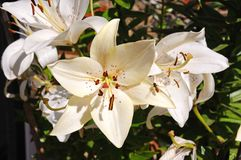 Cream coloured lilies. Royalty Free Stock Photography