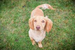 Cream Dachshund. Cream/Tan/Orange colored Dachshund standing looking up Royalty Free Stock Photography