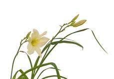 Cream Daylily  Hemerocallis on a white background Royalty Free Stock Images