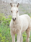 Cream foal at freedom in mountain. Stock Photos