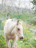 Cream foal at freedom in mountain Royalty Free Stock Images