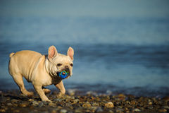 Cream French Bulldog playing with toy. Ball running along rocky beach with blue water Stock Photos