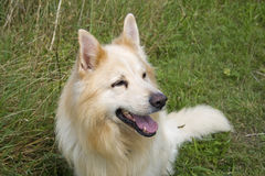 Cream German Shepherd Dog Royalty Free Stock Images