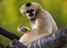 Cream gibbon. In tree at Denver zoo, USA royalty free stock photography