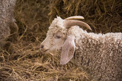 Cream goat in the hay Stock Images