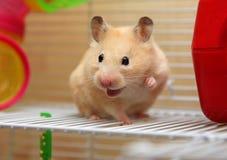 Cream hamster stock photos