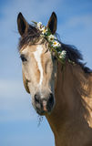 Cream horse with the flower wreath. Funny ceam horse with the flower wreath royalty free stock image