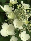 Cream lace cap hydeangea. Cream lace cap hydrangea blossom and buds Royalty Free Stock Photo