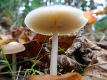 Cream Mushrooms. Detail of Mushroom from UK forests Stock Images