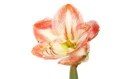 Amaryllis flower isolated. Cream and orange amaryllis flower isolated against white Stock Photos