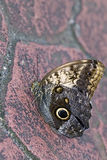 Cream Owl Butterfly Stock Image