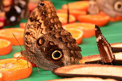 Cream Owl Butterfly Stock Photography