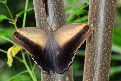 Cream Owl Butterfly Stock Photo