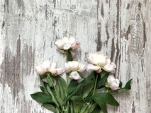 Cream peonies on a wooden background. Top view royalty free stock photos