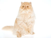Cream Persian cat on white background Stock Photography