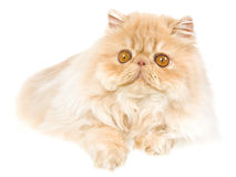 Cream Persian kitten on white background Royalty Free Stock Photography