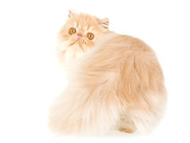 Cream Persian, on white background Royalty Free Stock Photography