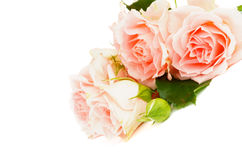 Cream Pink Roses Royalty Free Stock Image