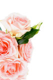 Cream Pink Roses Stock Photo