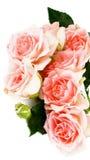 Cream Pink Roses Royalty Free Stock Photo