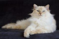 Cream point ragdoll on black couch. Cream point ragdoll laying on a black couch Stock Photo