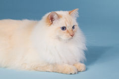 Cream point ragdoll on blue. Cream point ragdoll laying on a blue background Stock Image