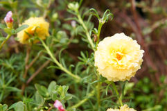 Cream Portulaca Stock Photo