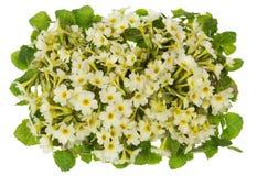 Cream primrose Royalty Free Stock Photography