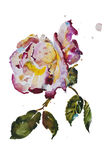 Cream and purple rose with leaves with grunge spots original. Watercolor art Royalty Free Stock Images