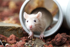 Cream rat. A sweet cream colored rat hiding inside a plumbing pipe Stock Photo