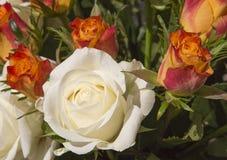 Cream and red-orange roses stock image