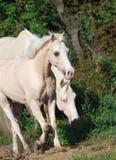 Cream ride ponys at freedom Royalty Free Stock Photo