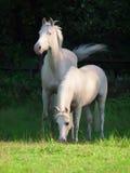 Cream ride ponys grazing in paddock Stock Image