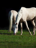 Cream ride ponys in the meadow  at black background Royalty Free Stock Images