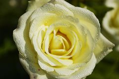 Cream rose. Rose with water droplets Stock Photography