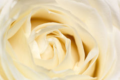 Cream rose. Stock Image