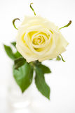 Cream rose Royalty Free Stock Image
