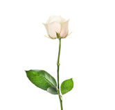 Cream rose in bud with beautiful leaves, isolated Royalty Free Stock Photo