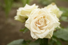 Cream rose Royalty Free Stock Photography