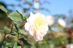 Cream rose Royalty Free Stock Photos