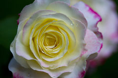 Cream rose with pink edge. A creamy rose with a pink edge taken outside on a summer day Royalty Free Stock Images