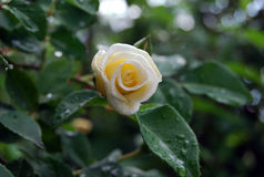 Cream rose after the rain. White rose on bush with drops Stock Image