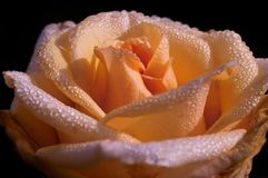 Cream rose with water drops. Beautiful crem orange rose with waterdrops Royalty Free Stock Photo