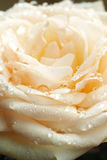 Cream rose with water drops Royalty Free Stock Image