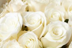 Cream roses Royalty Free Stock Images